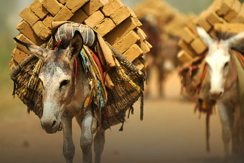 Need To Protect Equine Welfare In Global Donkey Trade